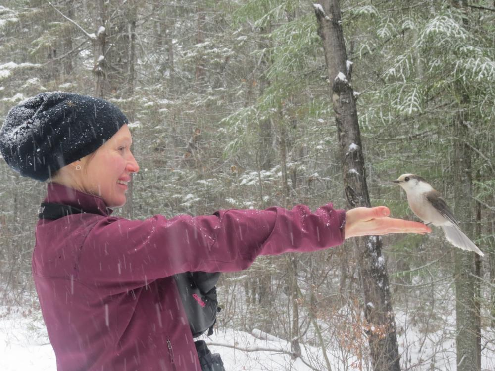 Gray Jay landing on Sarah's hand for raisins!
