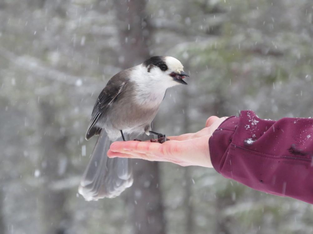 Gray Jay coming to Sarah's hand for raisins!