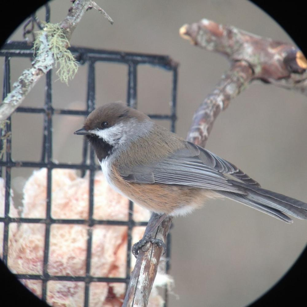 Boreal Chickadee by Joan Collins