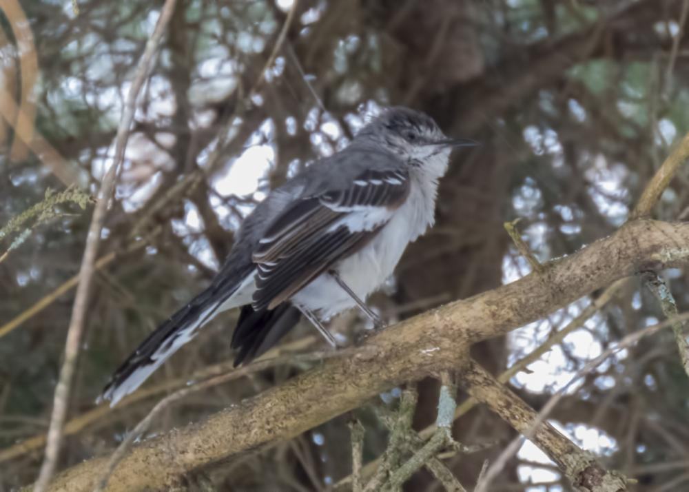 Northern Mockingbird by Larry Master