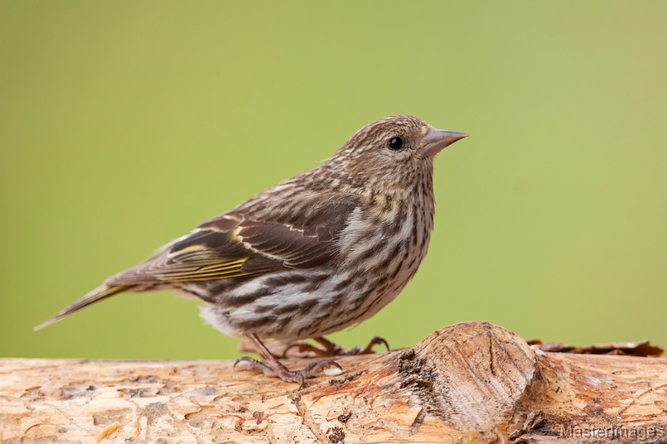 Pine Siskin by Larry Master