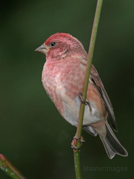 Male Purple Finch by Larry Master