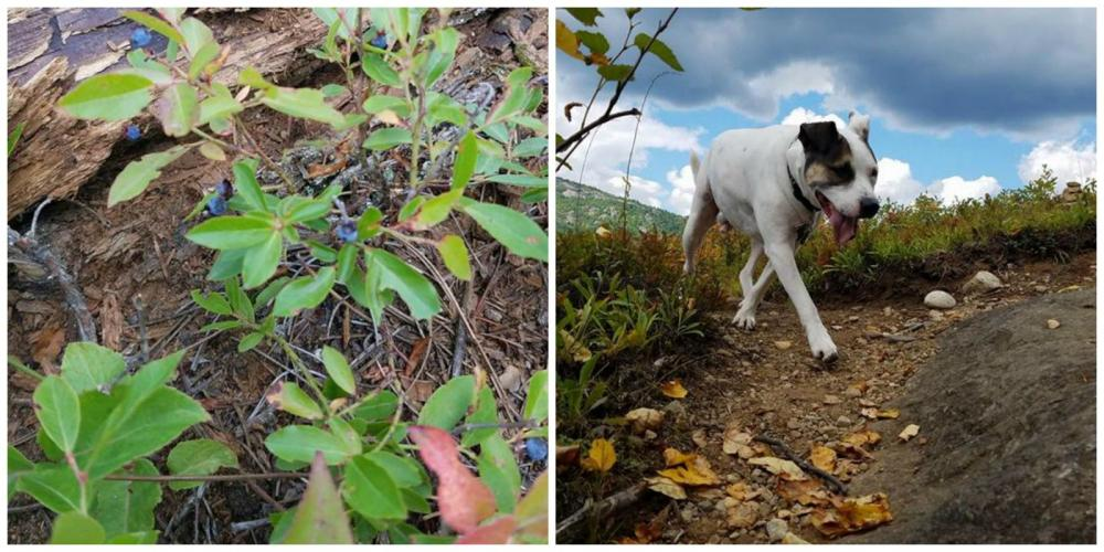 Even the pup, Sam, finds and enjoys the wild blueberries!