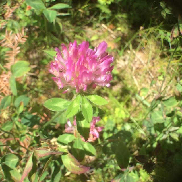 A ubiquitous flower favorite, red clover (Trifolium pratense), which I am informed tastes like green beans. Go ahead! It's non-poisonous.