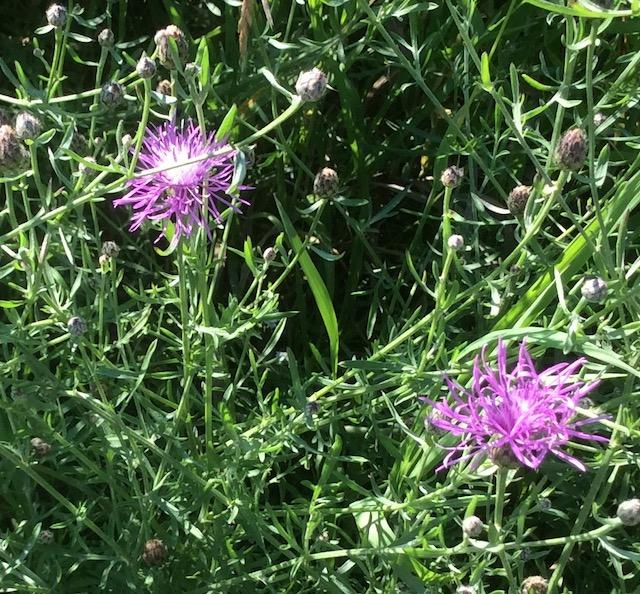 A fully opened bull thistle (Cirsium vulgare).
