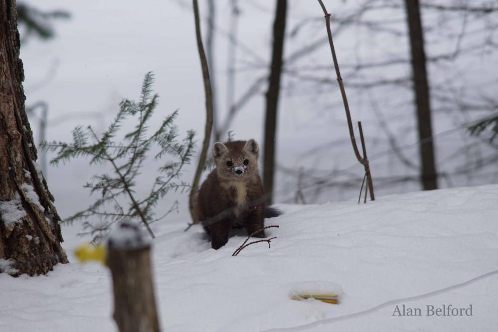 The martens are fun to watch, and cute too, as this one was as it nosed its way through the snow.