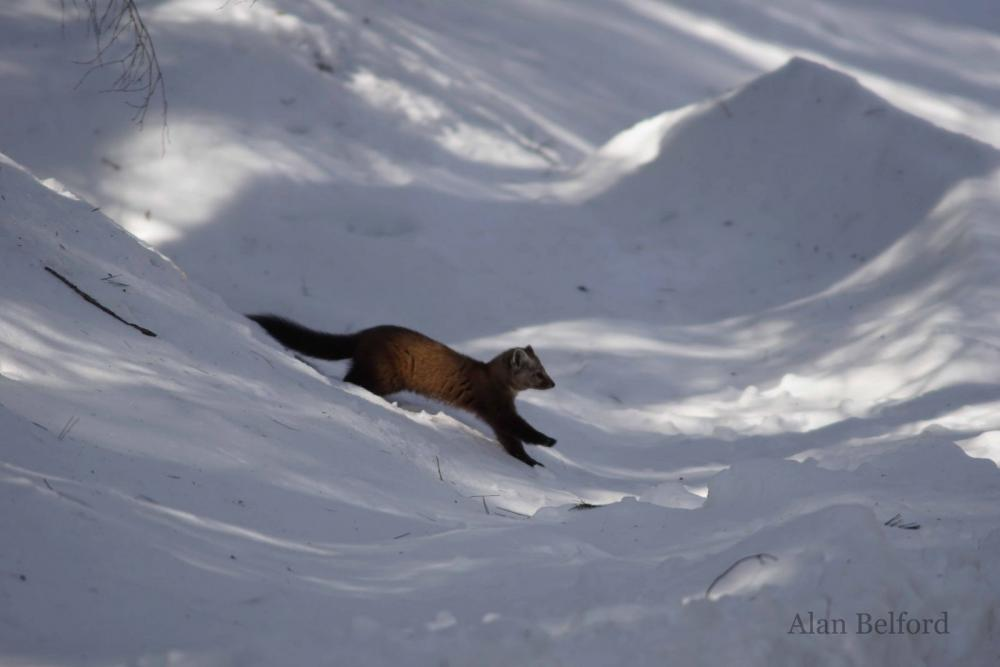 A marten hops down a snowbank in its search for food.