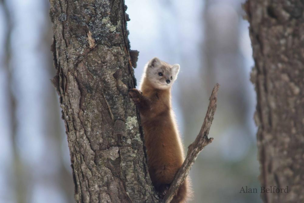 This marten eyed me curiously as I stood quietly waiting.